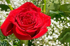 Beautiful red rose in bouquet. A closeup view of a single bright red rose with water droplets, surrounded by green leaves and white baby's breath Stock Image