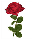 Beautiful red rose bouquet, isolated on white background. Botanical silhouette of flower. Flat stylization color. Vector illustration Stock Photo