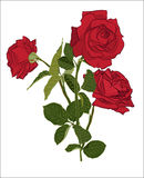 Beautiful red rose bouquet,  on white background. Botanical silhouette of flower. Flat stylization color. Vector illustration Royalty Free Stock Photos