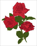 Beautiful red rose bouquet,  on white background. Botanical silhouette of flower. Flat stylization color. Vector illustration Stock Photography