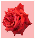 Beautiful red rose. Bright beautiful opened red rose Stock Photo