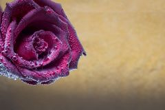 the beautiful red rose in the bubbles stock image