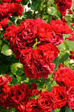 Beautiful red rose bush Stock Photos