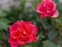 Beautiful red rose bush. Royalty Free Stock Photos