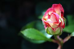 Beautiful red rose close-up on a dark background Stock Photo