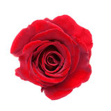 Beautiful red rose Stock Photos
