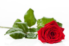 Beautiful red rose for Day Valentine as gift Stock Images