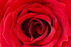 Beautiful red rose for Day Valentine as gift Royalty Free Stock Image