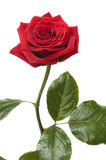 Beautiful red rose for Day Valentine as gift stock photography