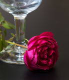 Beautiful red rose with dew drops close to the glass Royalty Free Stock Images