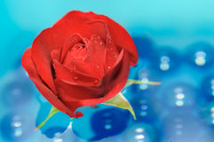 Beautiful Red Rose with Dew Drops on Water Stock Images