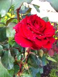 Beautiful red rose drops Royalty Free Stock Images