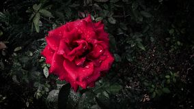Beautiful red rose in drops of rain, stirring in the wind stock video footage