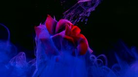 Beautiful red rose on a fantastic background. Blue watercolour ink in water on a black background.