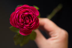 Beautiful red rose in a female hand on a black Stock Image