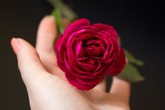 Beautiful red rose in a female hand on a black Royalty Free Stock Image