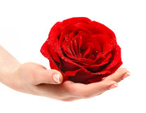Beautiful red rose in a female hand. Royalty Free Stock Photography