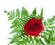 Beautiful red rose on a fern leaf Stock Images