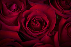 Beautiful red rose flake Royalty Free Stock Photo