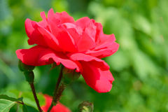 Beautiful Red Rose Flower against Green Foliage Background Stock Photos