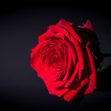 Beautiful red rose flower on black background Stock Image