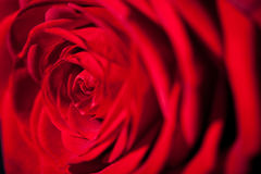 Beautiful red rose flower on black background Stock Photo