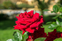 Beautiful red rose flower on a brunch,in the garden,. Close up, horizontal, day light, selective focus Stock Photo