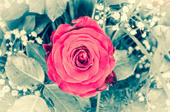 Beautiful red rose flower Royalty Free Stock Photography