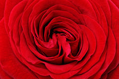 Beautiful red  rose flower. Closeup. Stock Photo