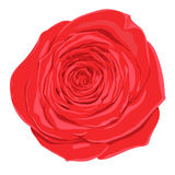 Beautiful red rose  flower with the effect of a watercolor drawing isolated on white background. Stock Image