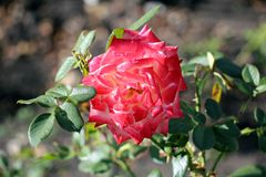 Red rose flower. Beautiful red rose flower in the garden Royalty Free Stock Photo