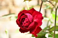Beautiful Red Rose Flower In The Garden
