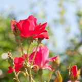 Beautiful red rose flower in a garden. Royalty Free Stock Images