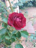 Red Rose flower. Beautiful red rose flower green leaves spring Royalty Free Stock Images