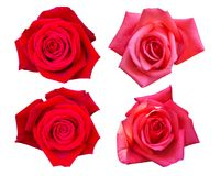 Beautiful Red Rose Flower Isolated On White Background. Flower For Lover And Wedding Stock Photo