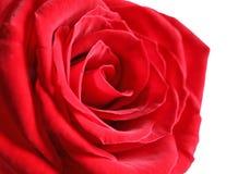 Beautiful red rose flower on light background, closeup stock photos
