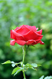 Beautiful Red Rose Flower In Nature Stock Photography