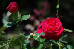 Beautiful red rose flower in a spring season at a botanical garden. A Beautiful red rose flower in a spring season at a botanical garden Royalty Free Stock Image