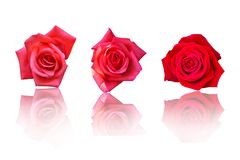 Beautiful Red Rose Flower On White Background. Flower For Lover And Wedding Stock Photos