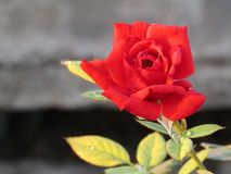 Beautiful red rose, flowers beauty. Beautiful  red  rose  nature  flower  plant  color  beauty  garden  flowers  beautiful  wallpapers  background  spring Royalty Free Stock Images