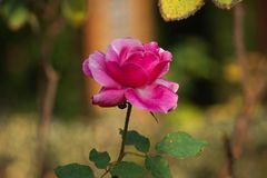 The beautiful red rose flowers plant