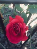 Beautiful Red Rose. Beautiful flowers summertime 2017 Royalty Free Stock Photography