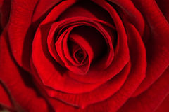 Beautiful red rose on foreground Stock Photo