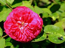 Beautiful Red Rose in full bloom against a natural green leaf background royalty free stock photos