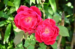 Beautiful Red Rose In The Garden