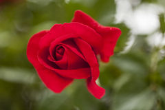 Beautiful red rose Stock Image