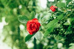 Beautiful red rose in garden against green blurred background. Faded retro colors effect royalty free stock image