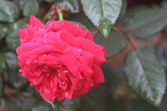 Beautiful rose in the garden Stock Image