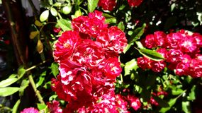 Beautiful red rose in the garden and blur background.  Stock Photos