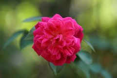 A beautiful red rose on garden royalty free stock photo